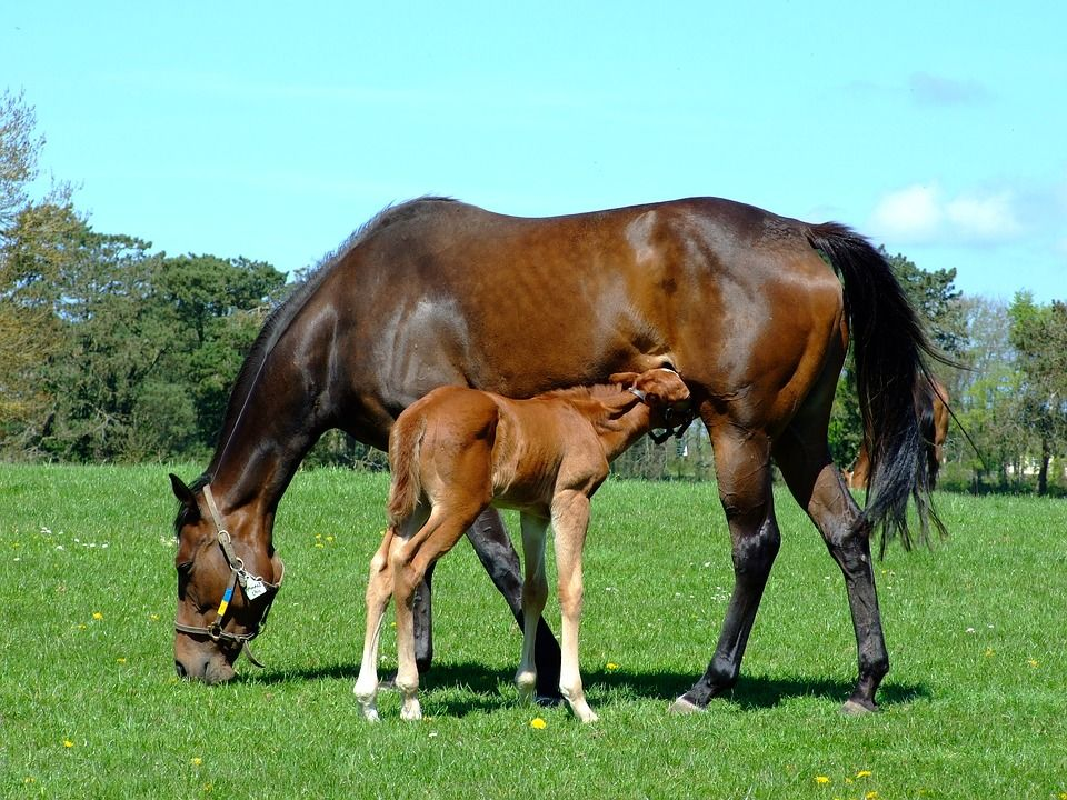 Can diet influence broodmare fertility?